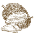 engraving durian fruit vector image vector image