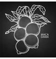 graphic macadamia nuts vector image