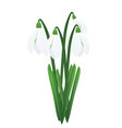 snowdrops first spring flowers vector image