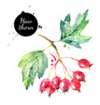 watercolor hawthorn berries painted isolated vector image vector image