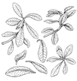 doodle Synadenium vector image vector image