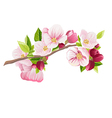Branch of apple blossoms Spring vector image vector image
