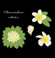set bud flowers leaf and branch plumeria on vector image