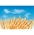 Ears of wheat in front of blue sky vector image vector image