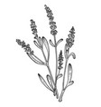 lavandula flower sketch engraving vector image
