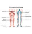 arteries and veins leg