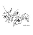 camellia japonica flower drawing vector image vector image