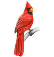 red cardinal hand drawn bird watercolor colored vector image