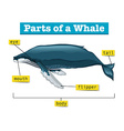 Diagram showing parts of whale vector image vector image