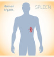 location of the spleen in the body the human vector image vector image