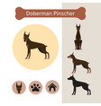 doberman pinscher dog breed infographic vector image