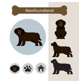 newfoundland dog breed infographic vector image vector image