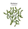 white or european mistletoe viscum album vector image