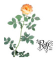 blur rose element vector image vector image