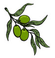 olive tree branch with olives design element for vector image