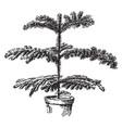 araucaria excelsa vintage vector image