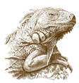 engraving of iguana head vector image vector image