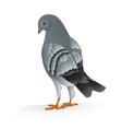Bird Carrier pigeon domestic sports bird vector image vector image