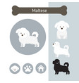 maltese dog breed infographic vector image vector image