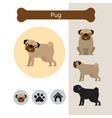 pug dog breed infographic vector image vector image
