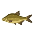 Common bream freshwater bronze carp breamfish vector image vector image