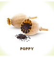 Poppy seed isolated on white vector image vector image
