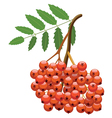 branch of mountain ash tree vector image vector image