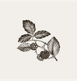blackberry vintage hand drawn of vector image vector image