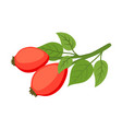rose hip herbal plant cartoon flat style vector image