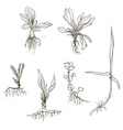 Set of line drawing herbs with roots vector image vector image