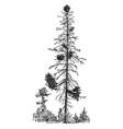 black spruce attacked by dwarf mistletoe vintage vector image