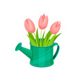 beautiful pink tulips in green metal watering can vector image vector image