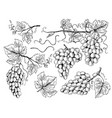 grape sketch floral pictures wine grapes vector image