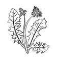dandelion doodle plant medical benefits ill vector image vector image