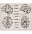 anatomical brain organ medicine vector image vector image