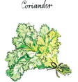 watercolor coriander vector image vector image