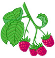 raspberry branch vector image