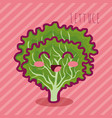 fresh lettuce vegetable character vector image vector image