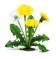 realistic dandelion vector image vector image