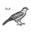 hawk bird sketch or hand drawn falcon vector image vector image