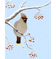 waxwing and rowanberries vector image