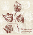 physalis line drawing vector image vector image