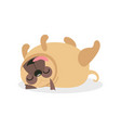 cute pug dog character sleeping on its back pet vector image