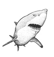White Shark Engraving vector image vector image
