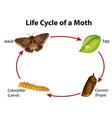 diagram showing life cycle moth vector image vector image