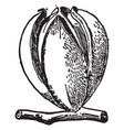 fruit carya ovalis vintage vector image vector image