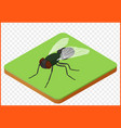 fly insect musca domestica vector image