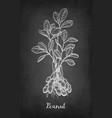 chalk sketch of peanut plant vector image vector image