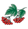 bunch red viburnum with green leaves isolated vector image vector image