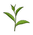 Hand drawn green tea leaf side view sketch vector image